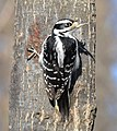Hairy woodpecker f To ON.jpg