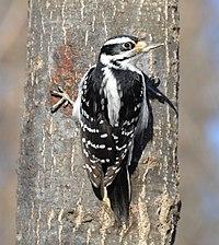 Hairy woodpecker f To ON.jpg