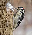 Hairy woodpecker m To ON lard.jpg