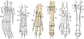 Hand skeletons with Artiodactyls highlighted.png
