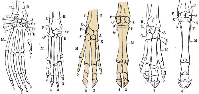 Hand skeletons with Artiodactyls highlighted
