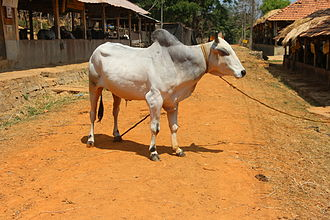 Zebu - Hariana breed of Zebu cattle in north India