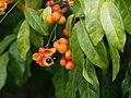 Harpullia pendula - fruiting tree.jpg