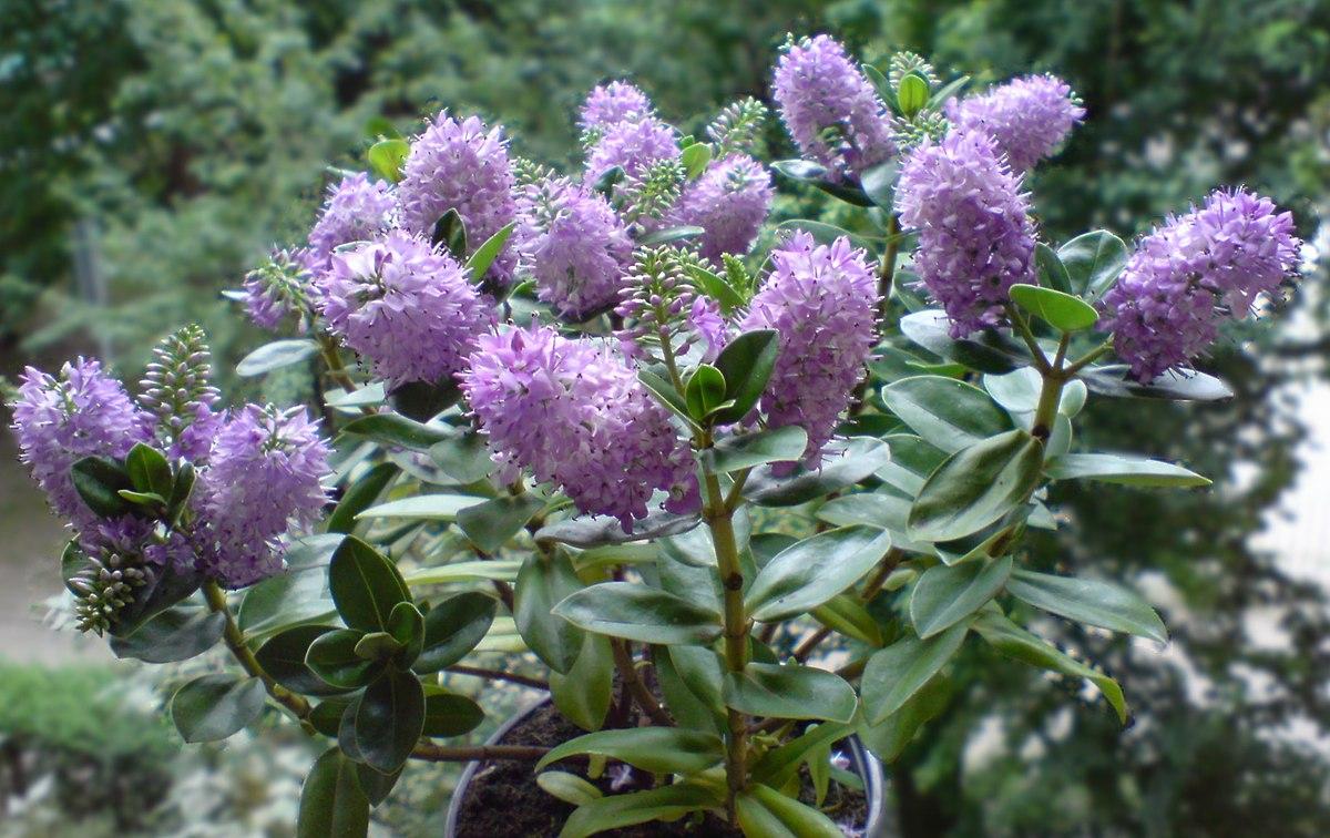 Hebe (roślina) – Wikipedia, wolna encyklopedia
