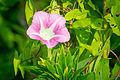 Hedge Bindweed (Calystegia sepium) (19812456863).jpg