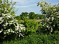 Hedge in spring - geograph.org.uk - 1297542.jpg