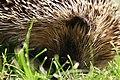Hedgehog in grass.jpg