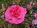 Heidelinde im Rosarium Wilhelmshaven.jpg