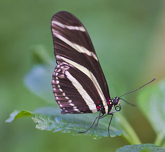 Heliconius charithonia - Ventral view, butterfly house of Icod de los Vinos, Tenerife, Spain