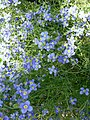 Heliophila coronopifolia 1.jpg