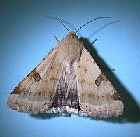 Heliothis peltigera (hindwings).jpg