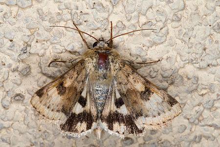 Heliothis viriplaca, Lodz(Poland)02(js).jpg