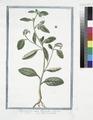 Heliotropium majus Discoridi - Elitropia - Herbe aux verrues. (Heliotrope, Cherry pie) (NYPL b14444147-1125063).tiff