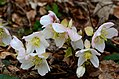 Helleborus niger Anthese.jpg