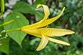 Hemerocallis citrina in Jardin des 5 sens (2).jpg