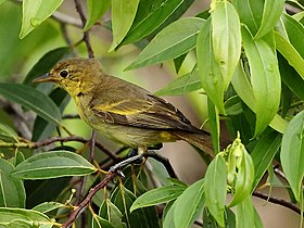 Hemithraupis flavicollis - Yellow-backed Tanager (female).JPG