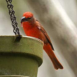 Hepatic Tanager (4542078584).jpg