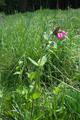 Herbstein Lanzenhain TalauenbeiHerbstein SCI 555520799 Alte Hasel Silene dioica N.png