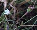 Hibiscus lobatus - Lobed Leaf Mallow 02.JPG