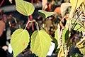 Hibiscus moscheutos Sweet Caroline 0zz.jpg