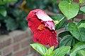 Hibiscus rosa-sinensis Black Baron 0zz.jpg