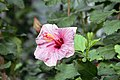 Hibiscus rosa-sinensis Sweet Violet 7zz.jpg