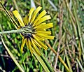 Hieracium vulgatum inflorescence (13).jpg