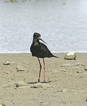 Black stilt - Black stilt, Ashley River mouth