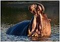 Hippo (42576122462).jpg
