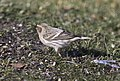Hoary Redpoll (individual 1), Oakfield, MI, February 4, 2012 (6818878369).jpg