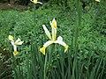 Hohenheim - Iris orientalis 01.jpg