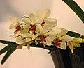 Holcostylis M S Sunlight -台南國際蘭展 Taiwan International Orchid Show- (40822575611).jpg