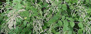 <i>Holodiscus</i> genus of plants