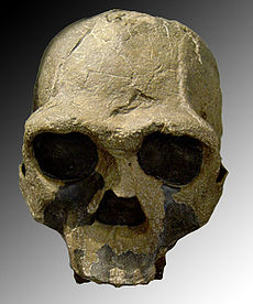 Skull KNM-ER 3733 discovered by Bernard Ngeneo in 1975 (Kenya)