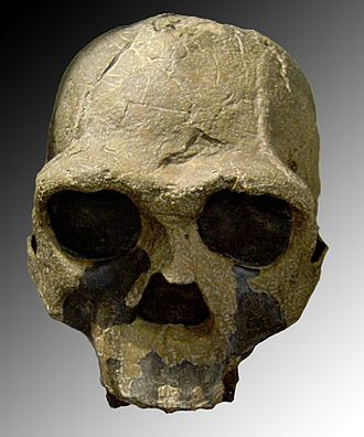 Homo erectus - KNM-ER 3733 (1.6 Mya, discovered 1975 at Koobi Fora, Kenya)