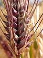 Hordeum vulgare (6 row barley) (3886422674).jpg
