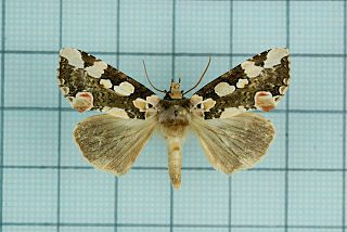 <i>Horithyatira</i> Moth genus in family Drepanidae