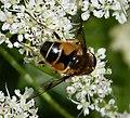 Hover Fly. Eristalis horticola (24360202467).jpg