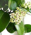 Hoya australis.jpg