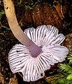 Humidicutis lewelliniae (Kalchbr.) A.M. Young 898386.jpg