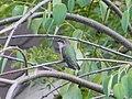 Hummingbird, Canada Ontario2.jpg