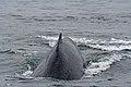 Humpback Whale (220401489).jpg