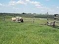 Hungarian Grey cattles, Dinnyés, 2017 Gárdony.jpg