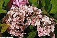 Hydrangea macrophylla All Summer Beauty 2zz.jpg