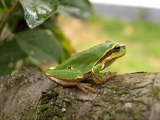 Rosnička zelená (lat. Hyla arborea)