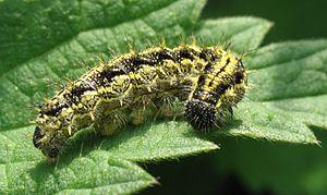 Small tortoiseshell - Image: IMG 0368 caterpillar