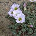 IMG 5972-Oxalis enneaphylla.jpg