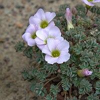O. enneaphylla, klippoxalis