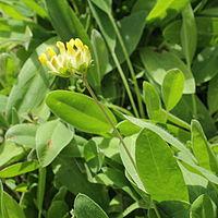 IMG 7392-Anthyllis vulneraria.jpg