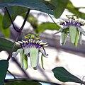 IMG 8308-Passiflora colinvauxii.jpg